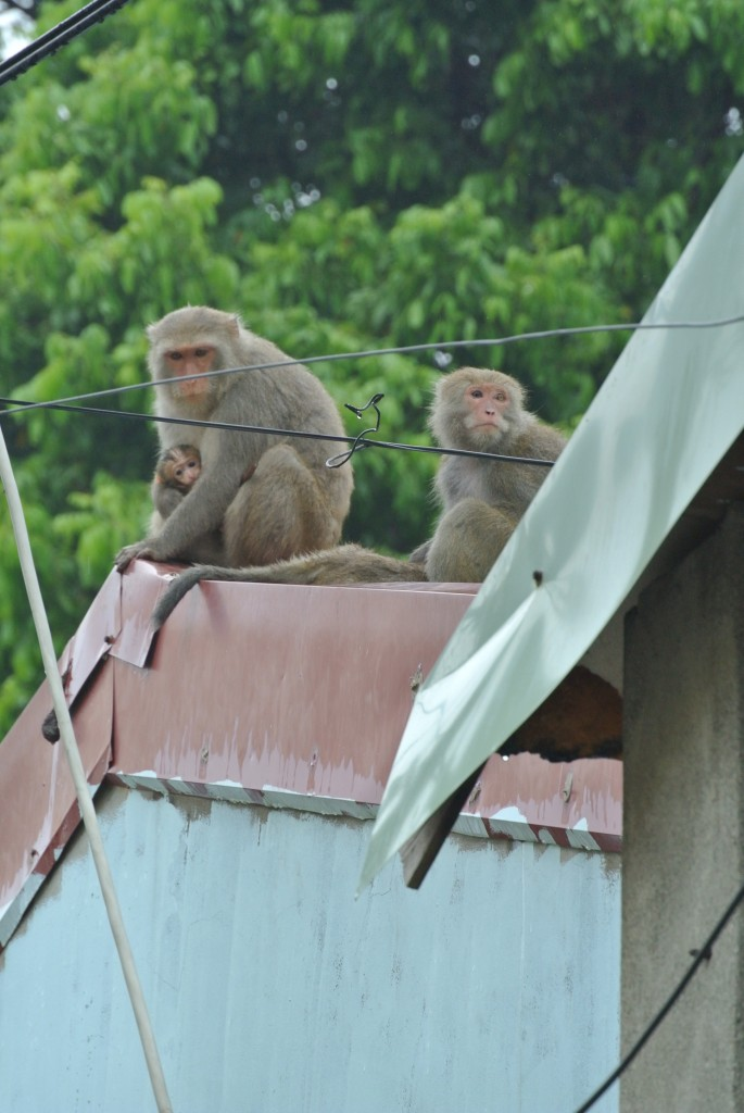 Monkeys are well habituated to humans