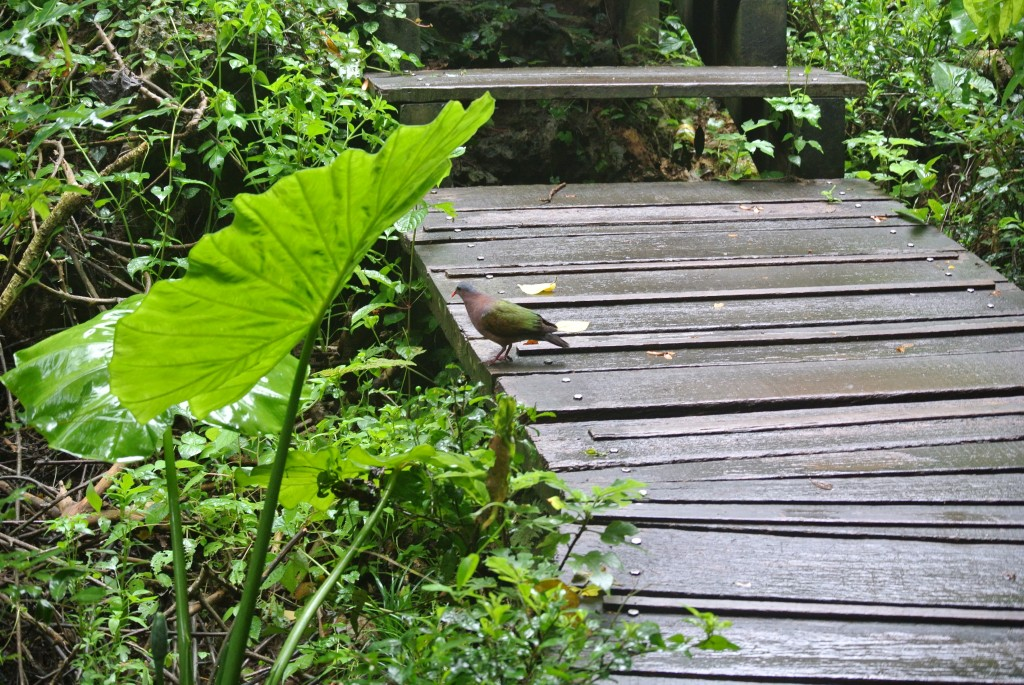 Emerald dove on boardwalk trail